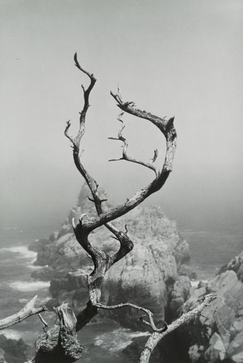 Cypress Grove Trail, Point Lobos, California, 1951 © Minor White