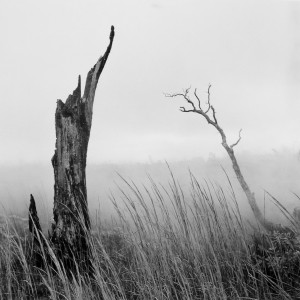 Ohi'a Stump, Grasses & Steam © Franco Salmoiraghi