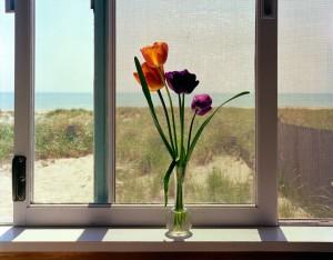 Tulips, Cape Cod, MA 1981 © David Ullrich